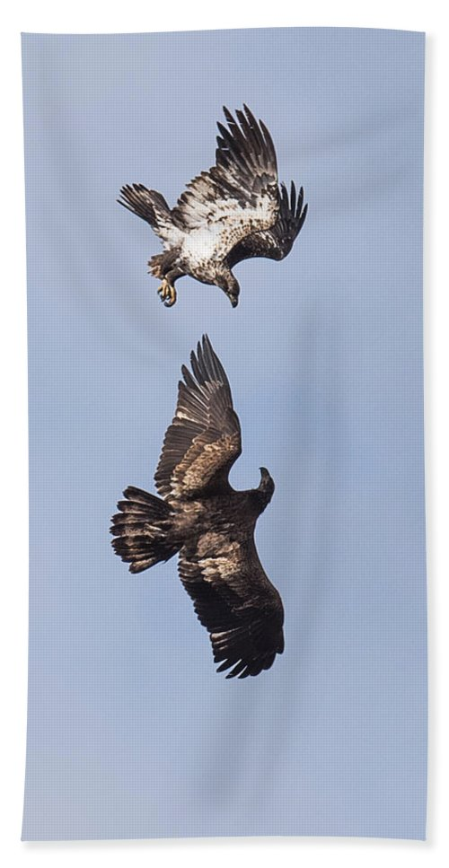 Bald Eagle Hand Towel featuring the photograph Frolicking Eagles by Paul Freidlund