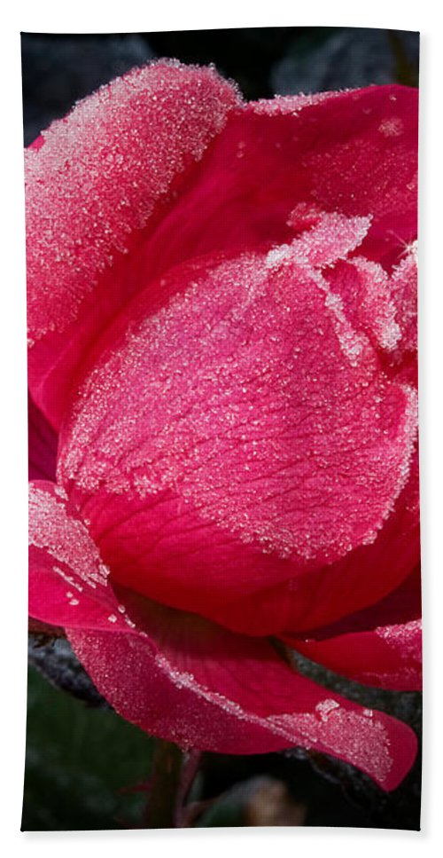 Roses Hand Towel featuring the photograph Frosted Rose by Lois Bryan