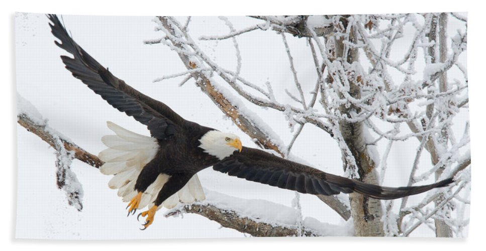 Bald Eagle Hand Towel featuring the photograph Frosty Take-off by Mike Dawson