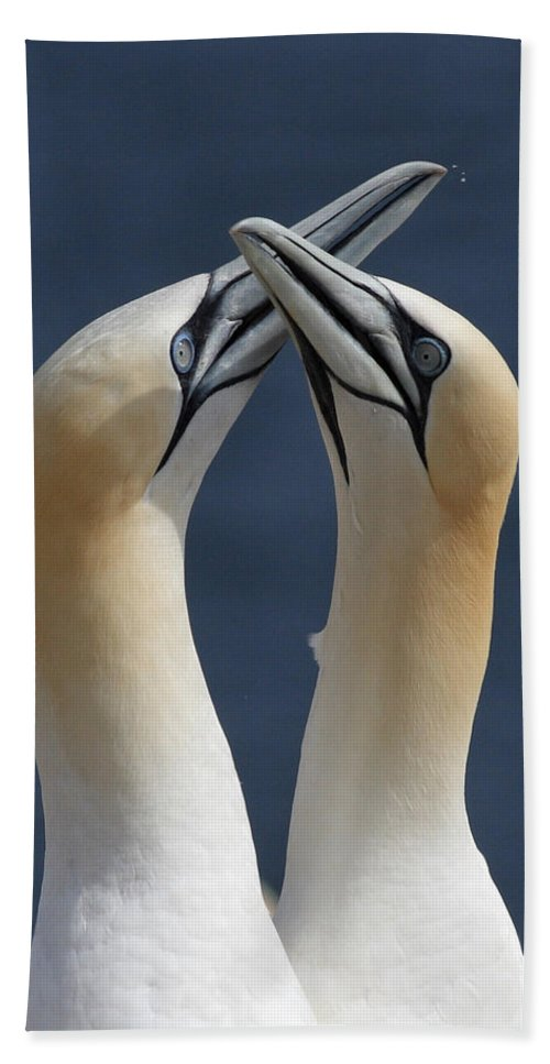 Northern Bath Sheet featuring the photograph Gannets In Love by Mircea Costina Photography