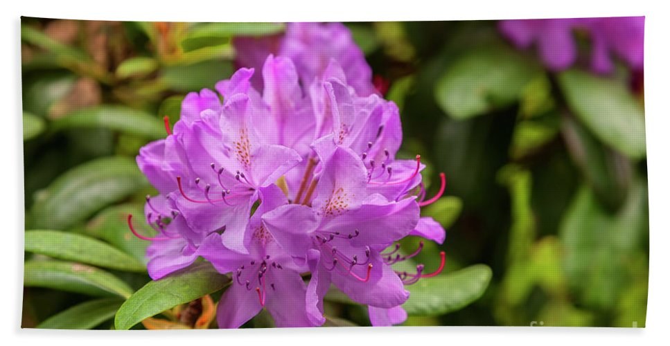 Purple Bath Sheet featuring the photograph Garden Rhodoendron Plant by Sophie McAulay