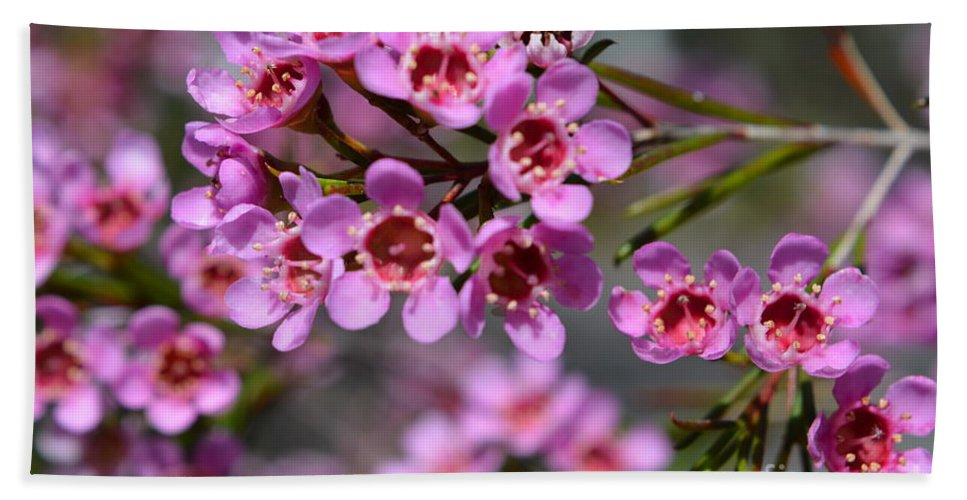 Geraldton wax flowers cwa pink australian native flower bath wax flower bath towel featuring the photograph geraldton wax flowers cwa pink australian native mightylinksfo