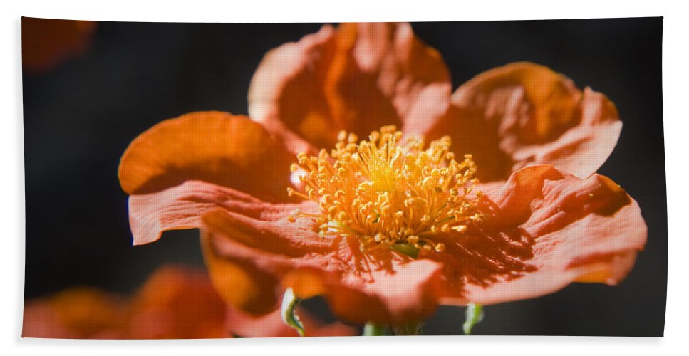 Geum Hand Towel featuring the photograph Geum Scarlet Avens by Teresa Mucha