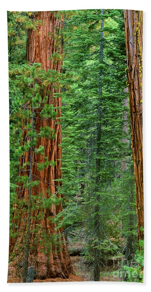 North America Bath Sheet featuring the photograph Giant Sequoias Sequoiadendron Gigantium Yosemite Np Ca by Dave Welling