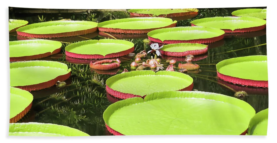 Exotic Hand Towel featuring the photograph Giant Water Lily Platters by Zina Stromberg