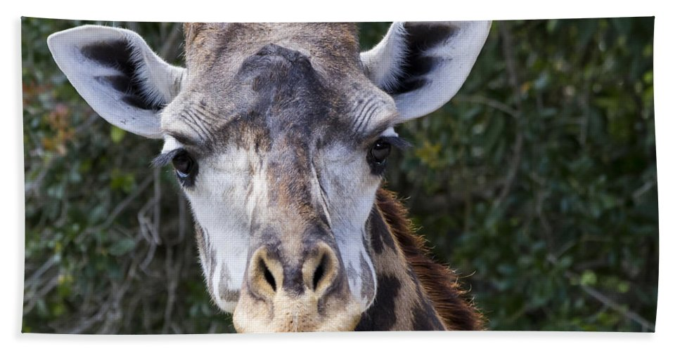 Giraffe Hand Towel featuring the photograph Giraffe Looking At You by Roger Wedegis