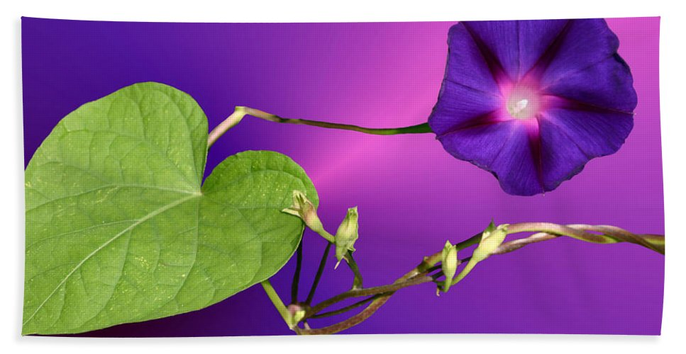 Morning Glory Bath Sheet featuring the photograph Glorious by Kristin Elmquist