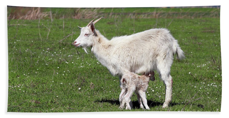 Kiddy Hand Towel featuring the photograph Goat With Just Born Little Goat Spring Scene by Goce Risteski