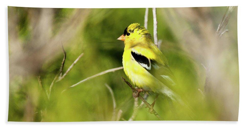 Birds Bath Sheet featuring the photograph Gold Finch by Greg Nyquist