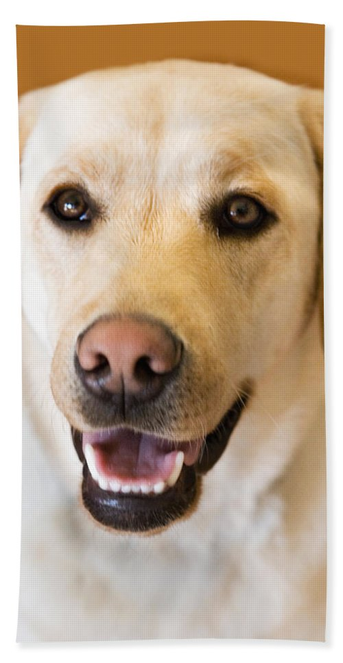 Lab Hand Towel featuring the photograph Golden Lab by Marilyn Hunt