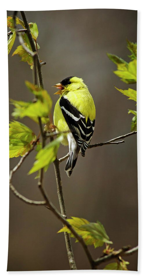Bird Bath Sheet featuring the photograph Goldfinch Suspended In Song by Christina Rollo