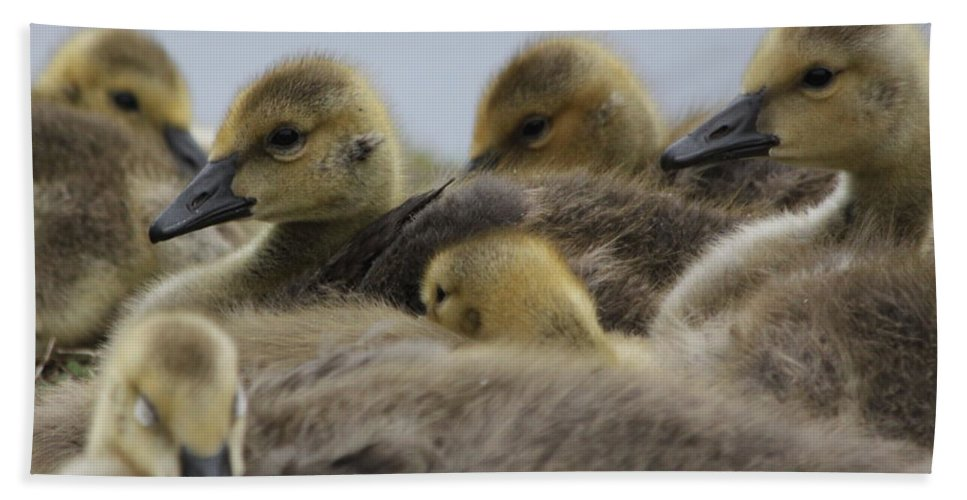 Geese Bath Towel featuring the photograph Gosling Gaggle by Lauri Novak