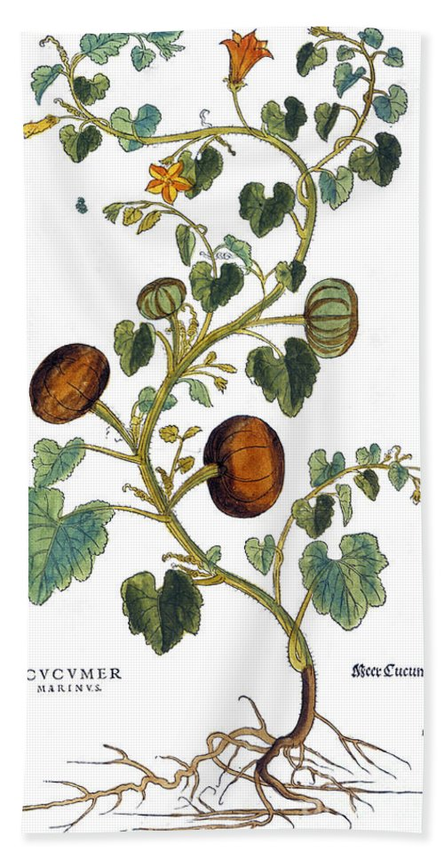 1730s Hand Towel featuring the photograph Gourd, 1735 by Granger
