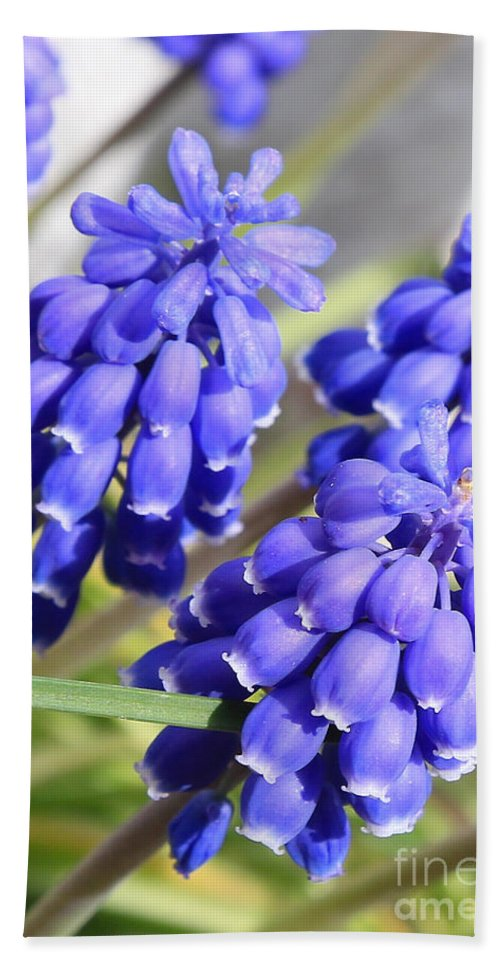 Spring Flower Hand Towel featuring the photograph Grape Hyacinth Closeup by Carol Groenen