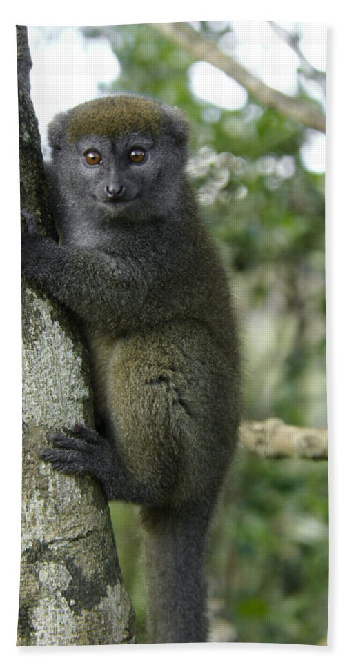 Madagascar Bath Sheet featuring the photograph Gray Bamboo Lemur by Michele Burgess