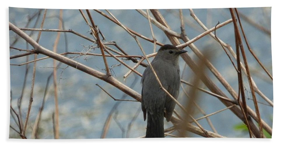 Bird Bath Sheet featuring the photograph Gray Catbird by Chris Thalacker