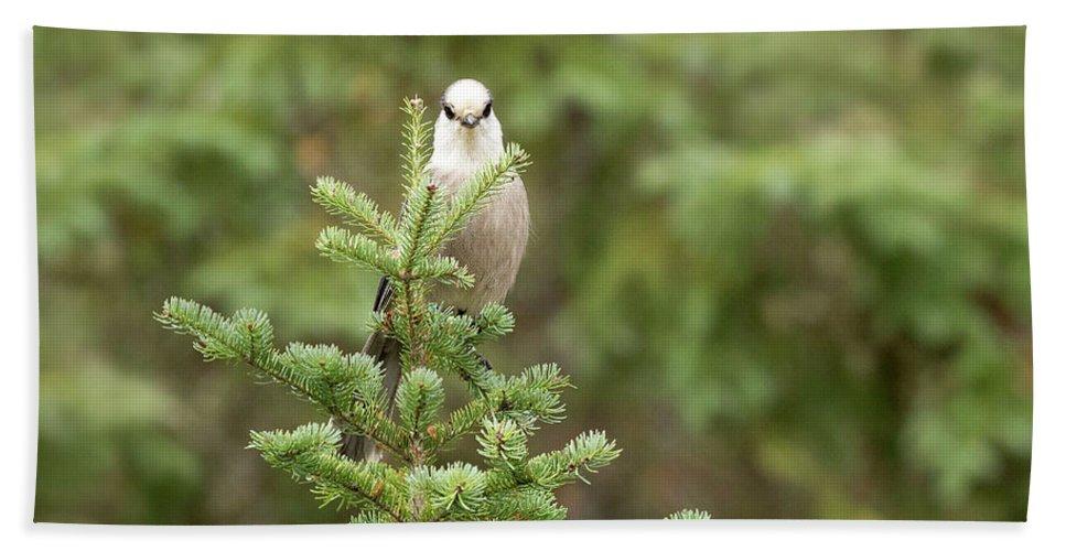 Bird Bath Sheet featuring the photograph Gray Jay by Martina Schneider