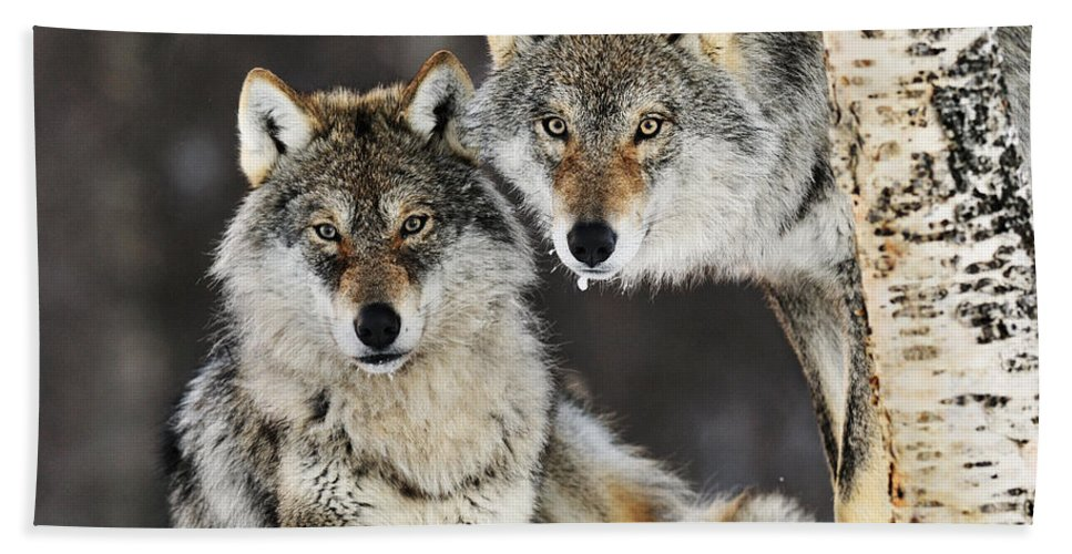 Mp Bath Towel featuring the photograph Gray Wolf Pair In The Snow by Jasper Doest