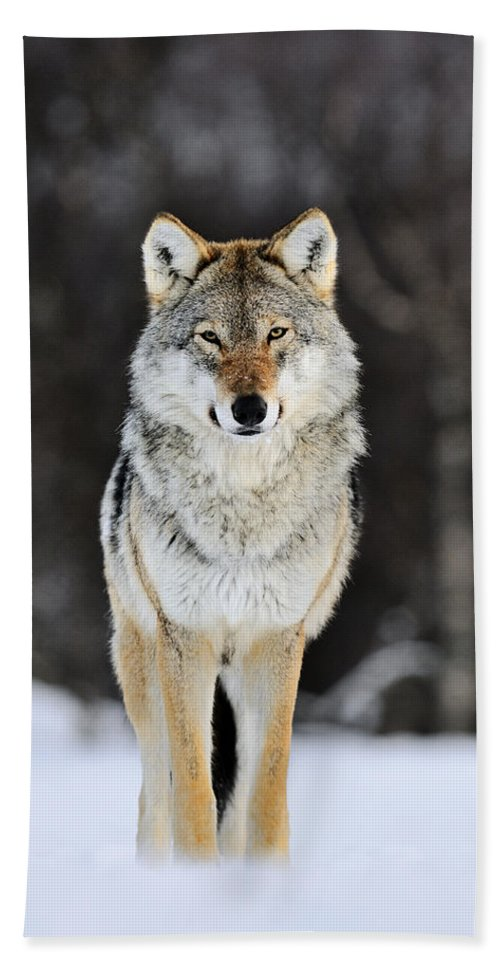 Mp Hand Towel featuring the photograph Gray Wolf In The Snow by Jasper Doest