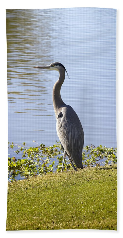 Heron Hand Towel featuring the photograph Great Blue Heron by Phyllis Denton