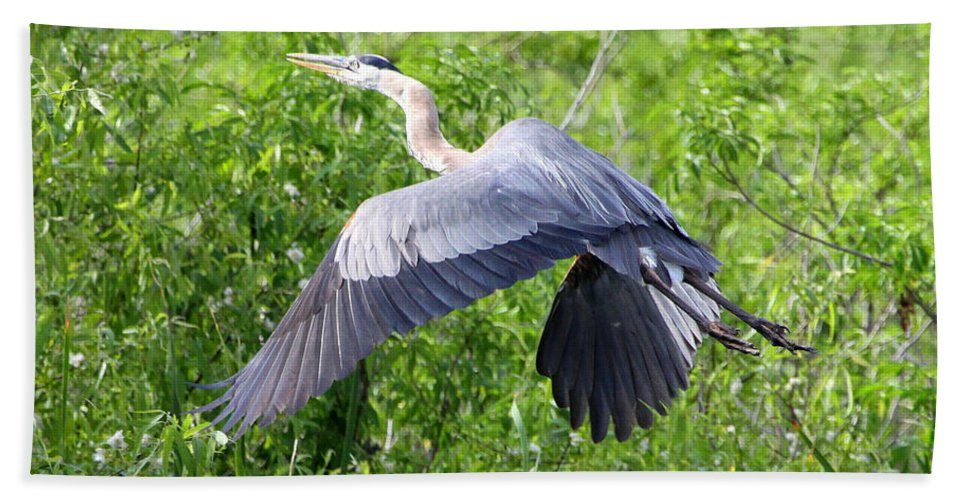 Great Blue Heron Hand Towel featuring the photograph Great Blue Heron Takeoff by Barbara Bowen