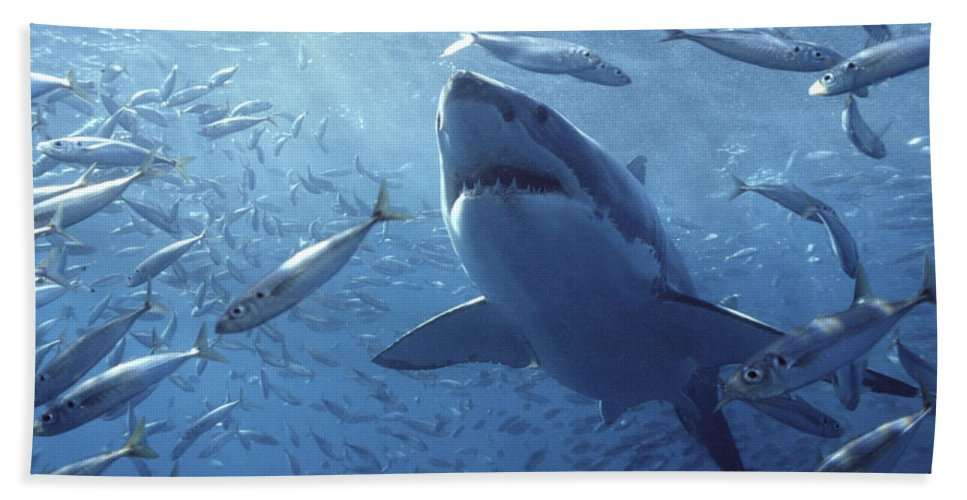Mp Bath Towel featuring the photograph Great White Shark Carcharodon by Mike Parry