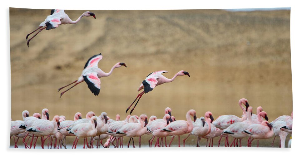 Photography Bath Sheet featuring the photograph Greater Flamingos Phoenicopterus by Panoramic Images