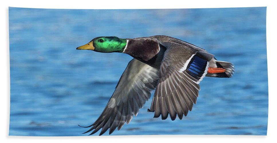 Mallard Bath Towel featuring the photograph Green Head Flyby by Paul Freidlund