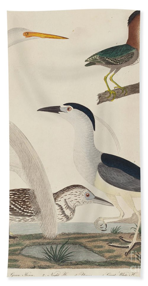 Hand Towel featuring the drawing Green Heron, Night Heron, Young Heron, And Great White Heron by John G. Warnicke After Alexander Wilson