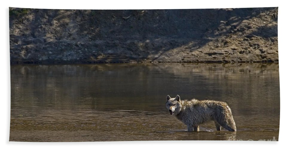 Canis Lupis Hand Towel featuring the photograph Grey Wolf In The Yellowstone River-signed-#4363 by J L Woody Wooden