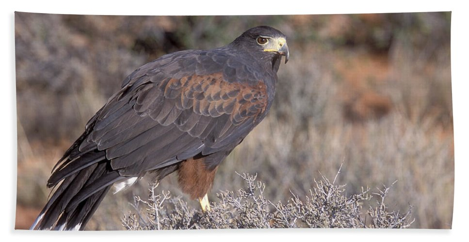 Birds Of Prey Hand Towel featuring the photograph Harris Hawk At Rest by Sandra Bronstein