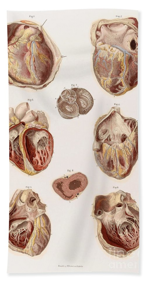 Historic Hand Towel featuring the photograph Heart, Cavities And Valves by Wellcome Images