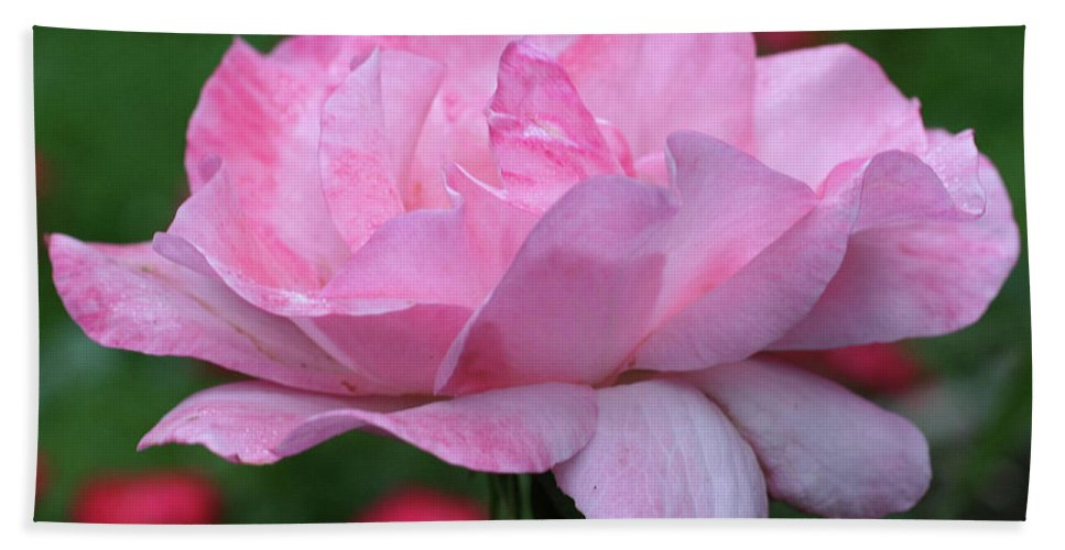Flower Bath Sheet featuring the photograph Heavenly Pink Rose by Smilin Eyes Treasures