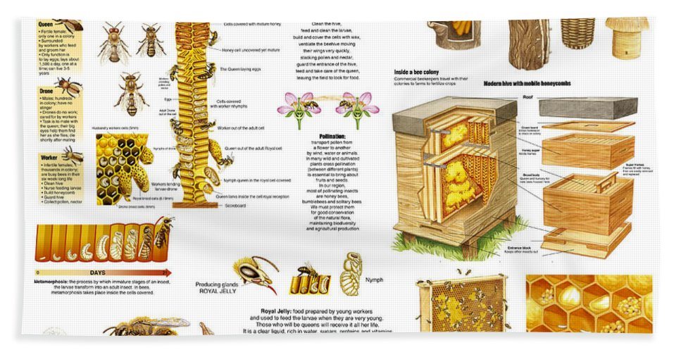 Honey Hand Towel featuring the drawing Honey Bees Infographic by Gina Dsgn
