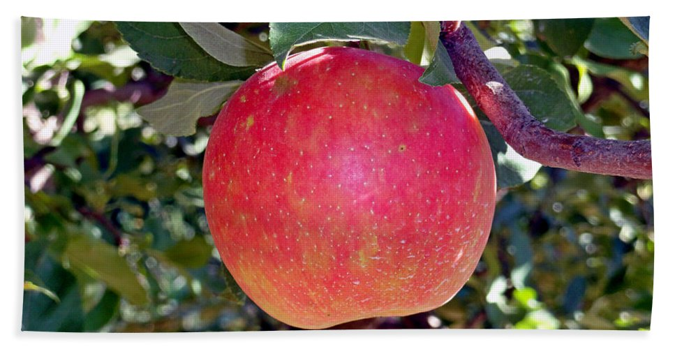 Apple Hand Towel featuring the photograph Honey Crisp Solo by Robert Meyers-Lussier