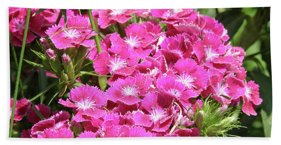 Sweet-william Bath Sheet featuring the photograph Hot Pink Sweet William Flowers In A Garden Blooming by DejaVu Designs