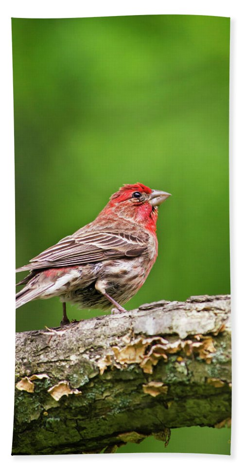 House Finch Hand Towel featuring the photograph House Finch Perched by Christina Rollo