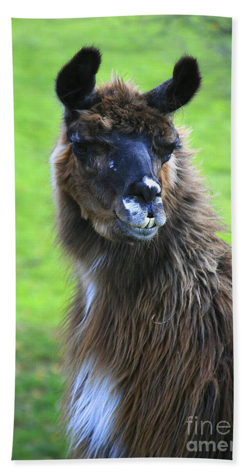 Lama Bath Sheet featuring the photograph How Do I Look by Deborah Benoit