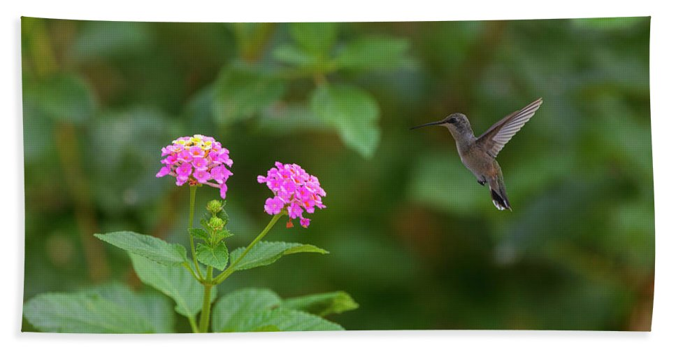 Hummingbird And Lantana In The Texas Hill Country 1 Bath Towel For Sale By Rob Greebon