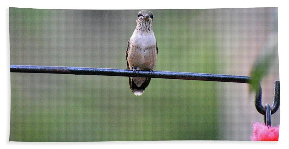 Hummingbird Bath Sheet featuring the photograph Hummingbird At Sunrise I See You Cameraman 02 by Thomas Woolworth