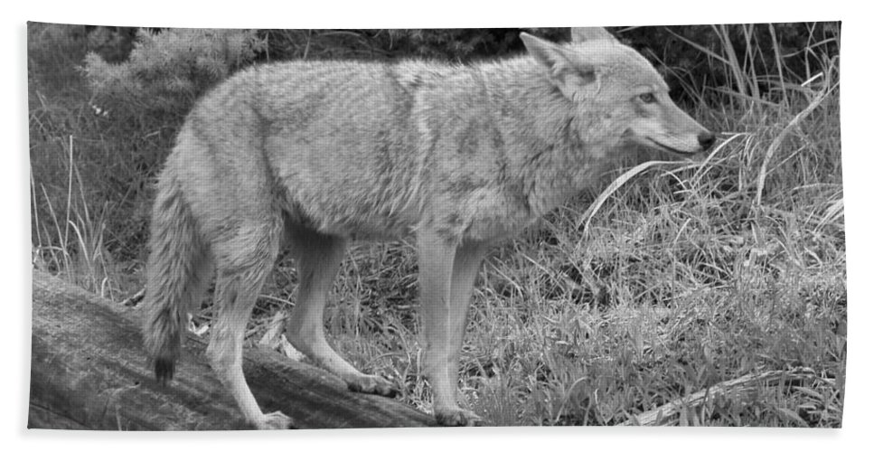 Yellowstone Coyote Bath Sheet featuring the photograph Hunting With Ears Back Black And White by Adam Jewell