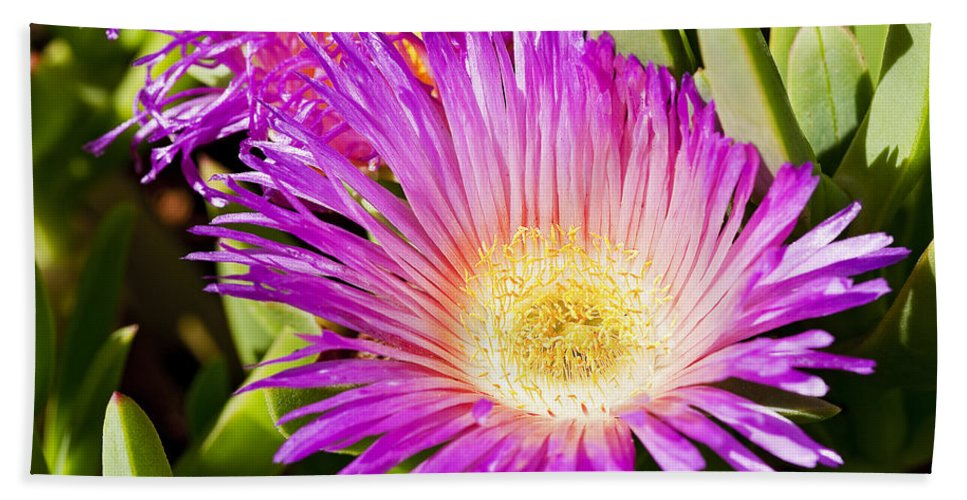 Ice Plant Bath Sheet featuring the photograph Ice Plant Blossom by Kelley King