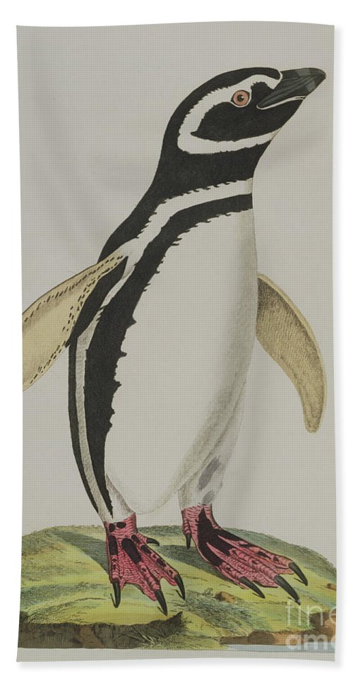 Penguin Bath Towel featuring the painting Illustration Of A Penguin by John Frederick Miller