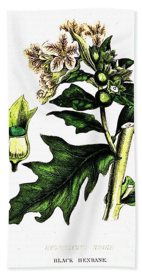History Hand Towel featuring the photograph Illustration Of Black Henbane by Wellcome Images