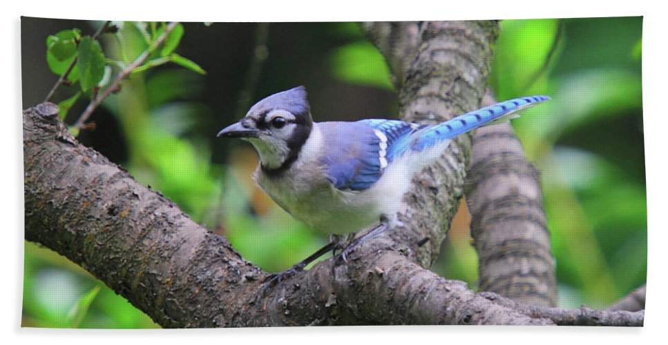 Blue Jay Bath Sheet featuring the photograph I'm Looking - Blue Jay by Herbert L Fields Jr