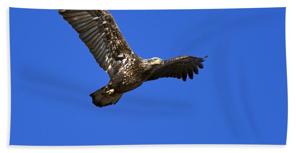 Immature Hand Towel featuring the photograph Immature Bald Eagle Fly By by Gary Langley