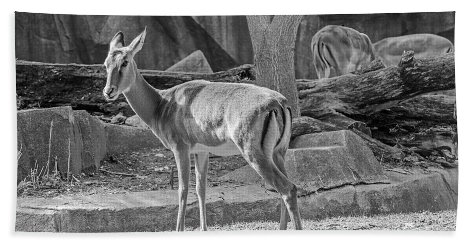 Impala Bath Sheet featuring the photograph Impala  Black And White by Susan McMenamin