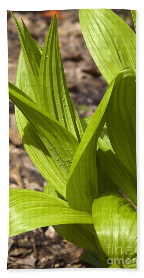 Scenic Bath Sheet featuring the photograph Indian Poke -veratrum Veride- by Erin Paul Donovan