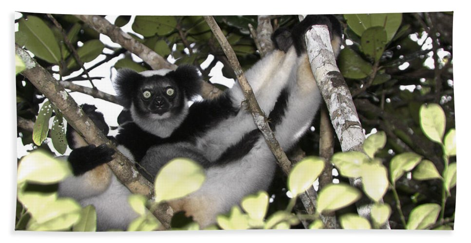 Madagascar Bath Sheet featuring the photograph Indri Indri by Michele Burgess