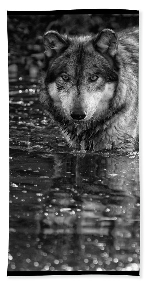 Wolf Wolves Lupine Canis Lupus Wildlife Animal Photography Photograph Bath Sheet featuring the photograph Intense Reflection by Shari Jardina